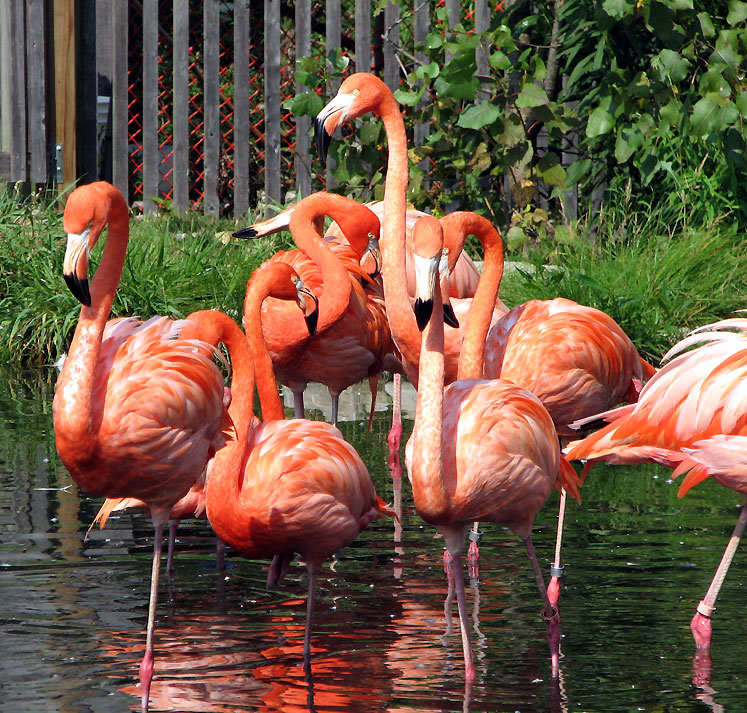 Canada Ontario Photos :: African Lion Safari :: African Lion Safari - flamingos