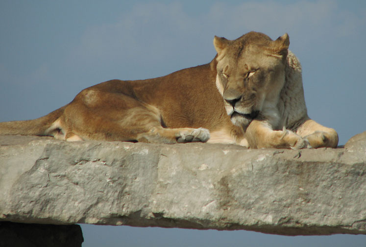 Canada Ontario Photos :: African Lion Safari :: African Lion Safari - a lioness