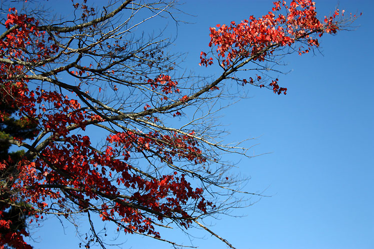 Canada Ontario Photos :: Fall :: Bala - a branch of the red maple tree