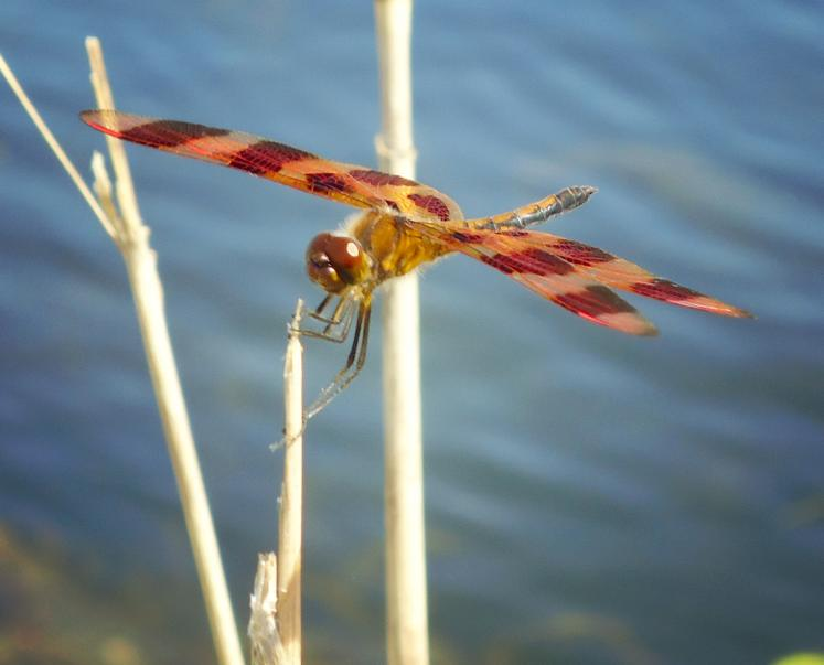 Canada Ontario Photos :: THERESA :: A dragonfly - a random nature pictures