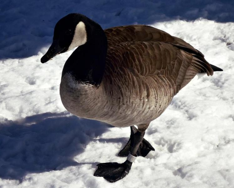 Canada Ontario Photos :: THERESA :: Geese in Belleville close ups