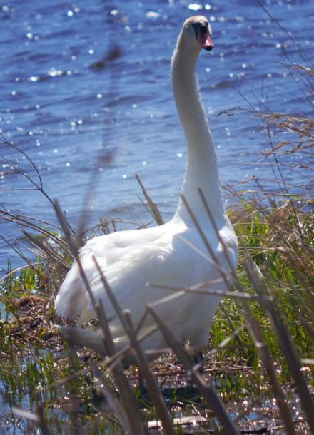 Canada Ontario Photos :: Belleville :: Zwicks Park  Swan close up