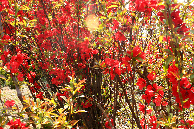 Canada Ontario Photos :: Burlington - Royal Botanical Gardens :: Burlington. Royal Botanical Gardens - a bush with red flowers