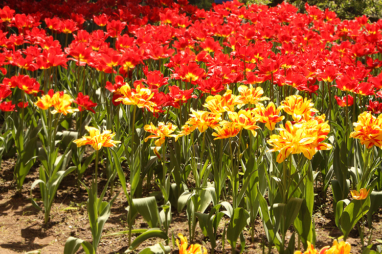 Canada Ontario Photos :: Burlington - Royal Botanical Gardens :: Royal Botanical Gardens - brightly-colored tulips