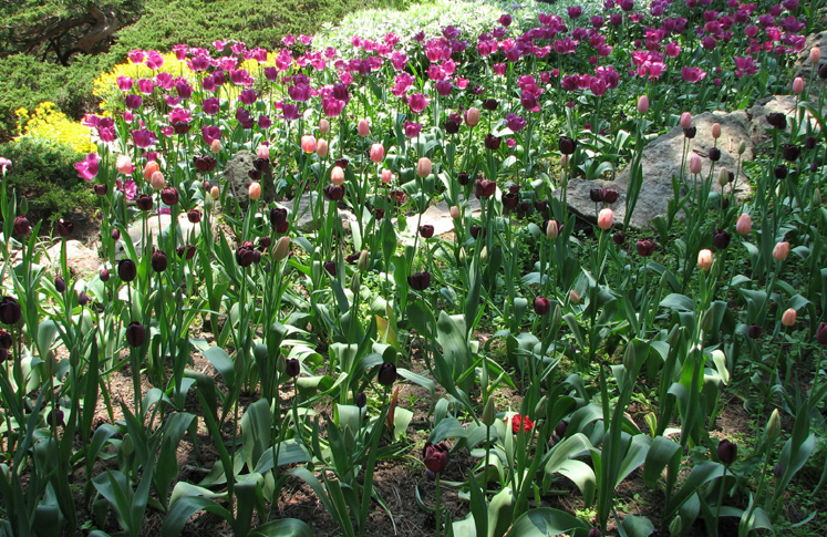 Canada Ontario Photos :: Burlington - Royal Botanical Gardens :: Royal Botanical Gardens - colorful tulips