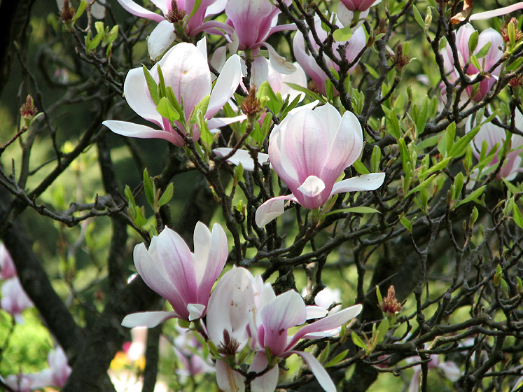 Canada Ontario Photos :: Spring :: Royal Botanical Gardens - magnolia tree
