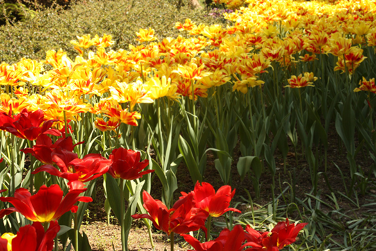 Canada Ontario Photos :: Burlington - Royal Botanical Gardens :: Royal Botanical Gardens - red and yellow tulips
