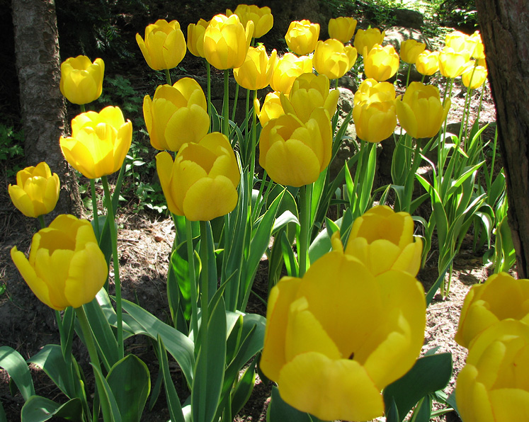 Canada Ontario Photos :: Spring :: Royal Botanical Gardens - yellow tulips