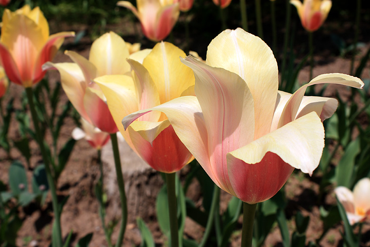 Canada Ontario Photos :: Burlington - Royal Botanical Gardens :: Tulips in Royal Botanical Gardens