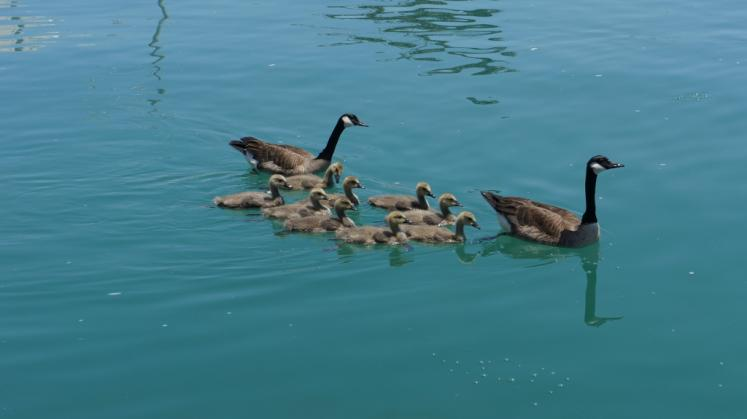 Canada Ontario Photos :: Goderich :: Goose with Gosslings in Goderich Harbour