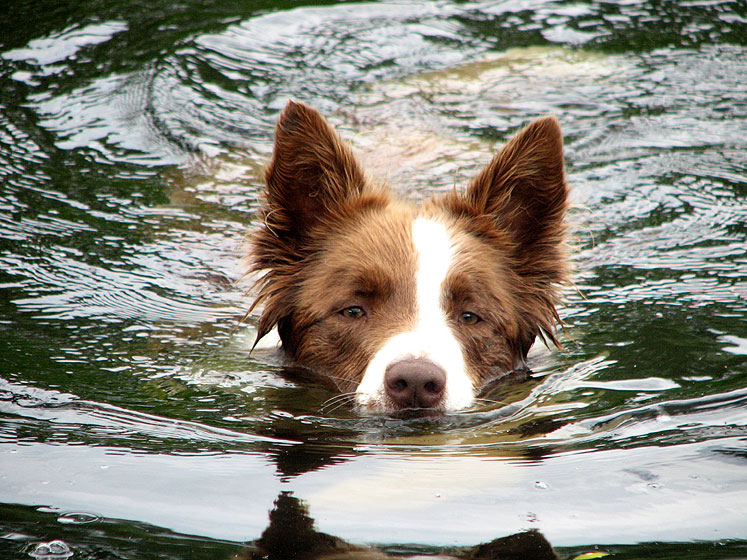 Canada Ontario Photos :: Haliburton :: Ontario. Haliburton - a hot day. A swimming dog.