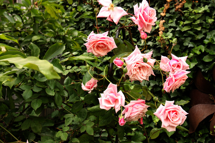Canada Ontario Photos :: Kincardine :: Beautiful roses in Kincardine