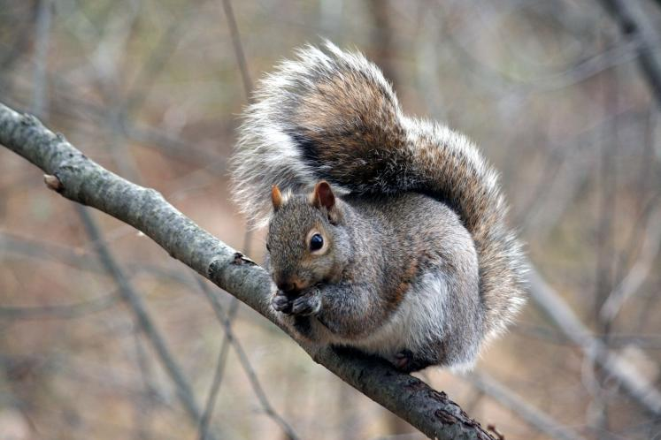 Canada Ontario Photos :: Kitchener :: Ontario. Grey Squirel