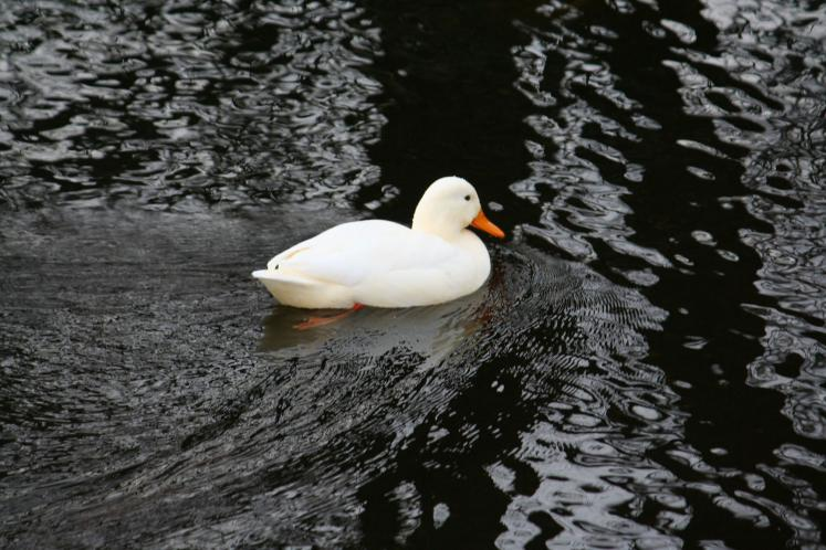Canada Ontario Photos :: WBignell :: White Duck