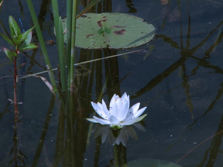 Canada Ontario Photos :: Manitoulin Island :: Manitoulin island - water lilly