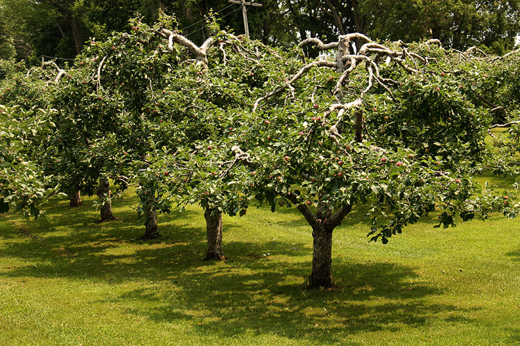 Canada Ontario Photos :: Torontonian :: Apple trees