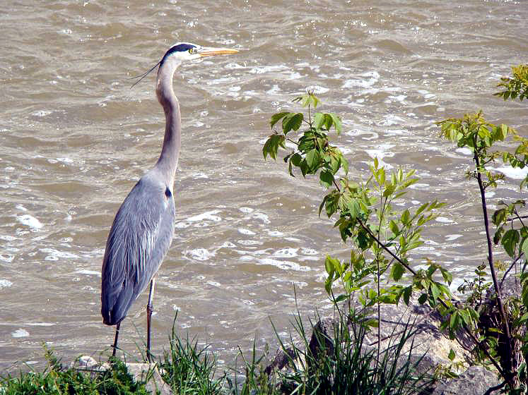 Canada Ontario Photos :: New Hamburg :: Ontario. Blue Heron on Nith River New Hamburg