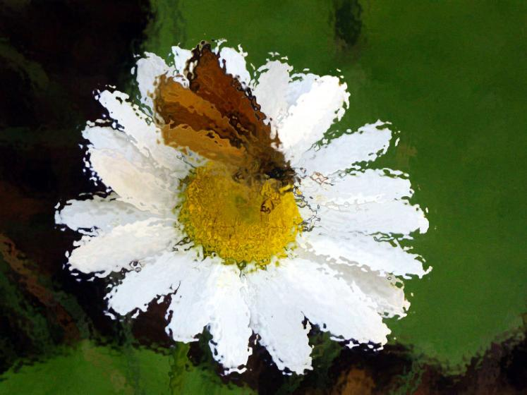 Canada Ontario Photos :: Polin :: Ontario. Daisy through the water
