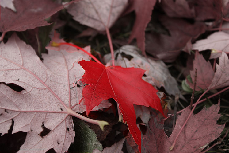 Canada Ontario Photos :: Nature :: Ontario - Red leaf
