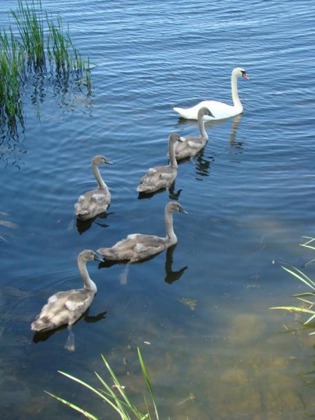 Canada Ontario Photos :: Collingwood :: Ontario. Swans with baby Cynets on Nottawasaga Bay Collingwood