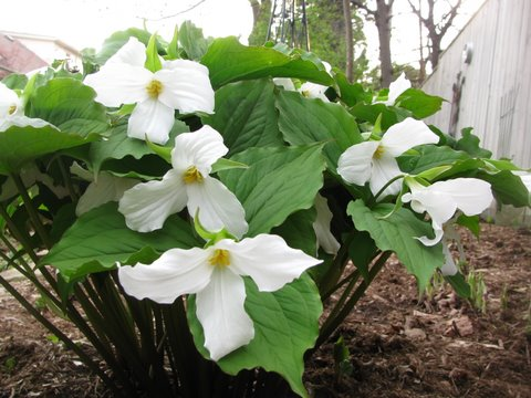 Canada Ontario Photos :: Rolfie :: Trilliums National Flower Emblem of Ontario