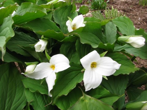 Canada Ontario Photos :: Rolfie :: Trilliums in the woods, National Flower Emblem of Ontario