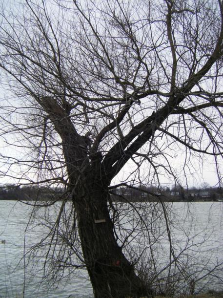 Canada Ontario Photos :: Peter :: Niagara-on-the-Lake. An old tree in the park