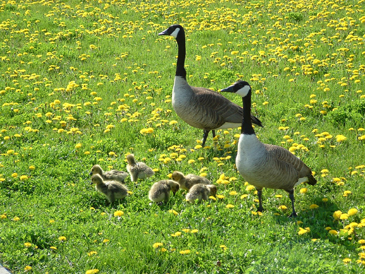 Canada Ontario Photos :: Richmond Hill :: Richmond Hill. Canadian Geese