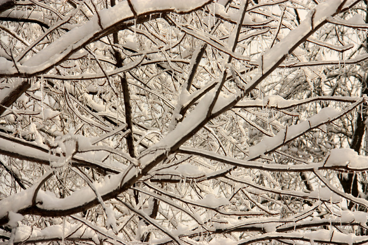 Canada Ontario Photos :: Richmond Hill :: Richmond Hill - branches covered with snow