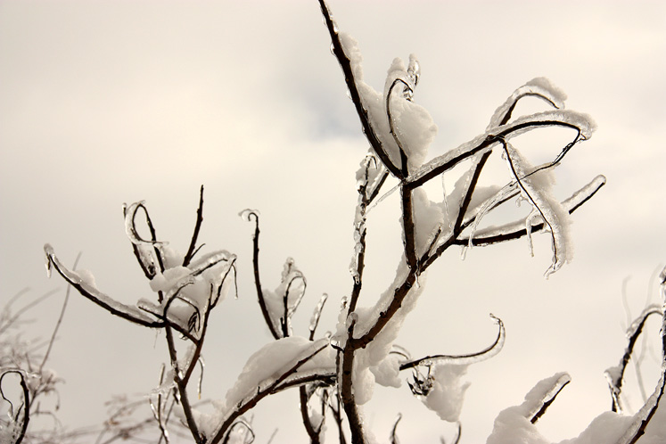 Canada Ontario Photos :: Richmond Hill :: Richmond Hill - ice and snow covered branches