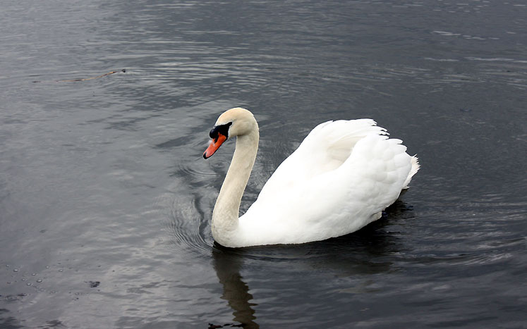 Canada Ontario Photos :: Nature :: Richmond Hill. Mill Pond - a swan