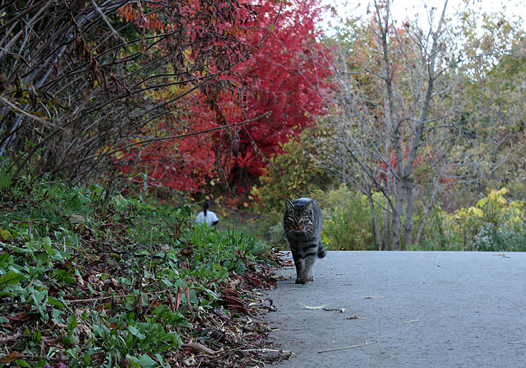Canada Ontario Photos :: visitor :: Ontario. Richmond Hill. A cat is walking in the park
