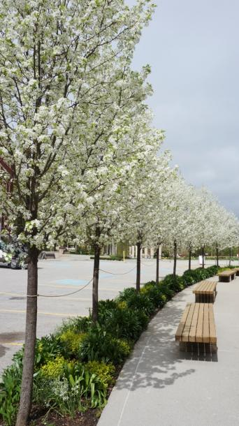 Canada Ontario Photos :: Spring :: Row of Flowering Pear Trees Stratford