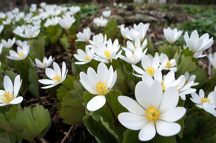 Canada Ontario Photos :: Spring :: Ontario. Anemone Growing in Shakespearian Gardens Stratford