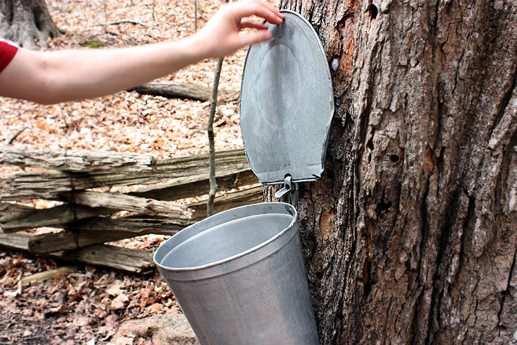 Canada Ontario Photos :: Vaughan - Kortright Conservation Area :: Kortright Conservation Area  - maple sap collecting