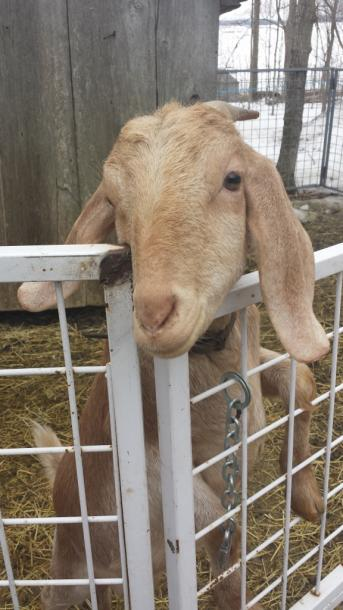 Canada Ontario Photos :: Waterloo :: Goat at Martins Maple Syrup  Farm, Waterloo