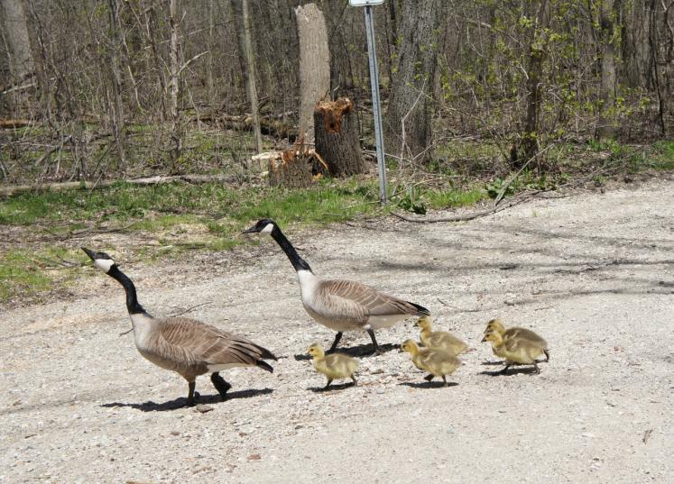 Canada Ontario Photos :: Waterloo :: Mother Goose with their Gooselings at Waterloo Park, Waterloo
